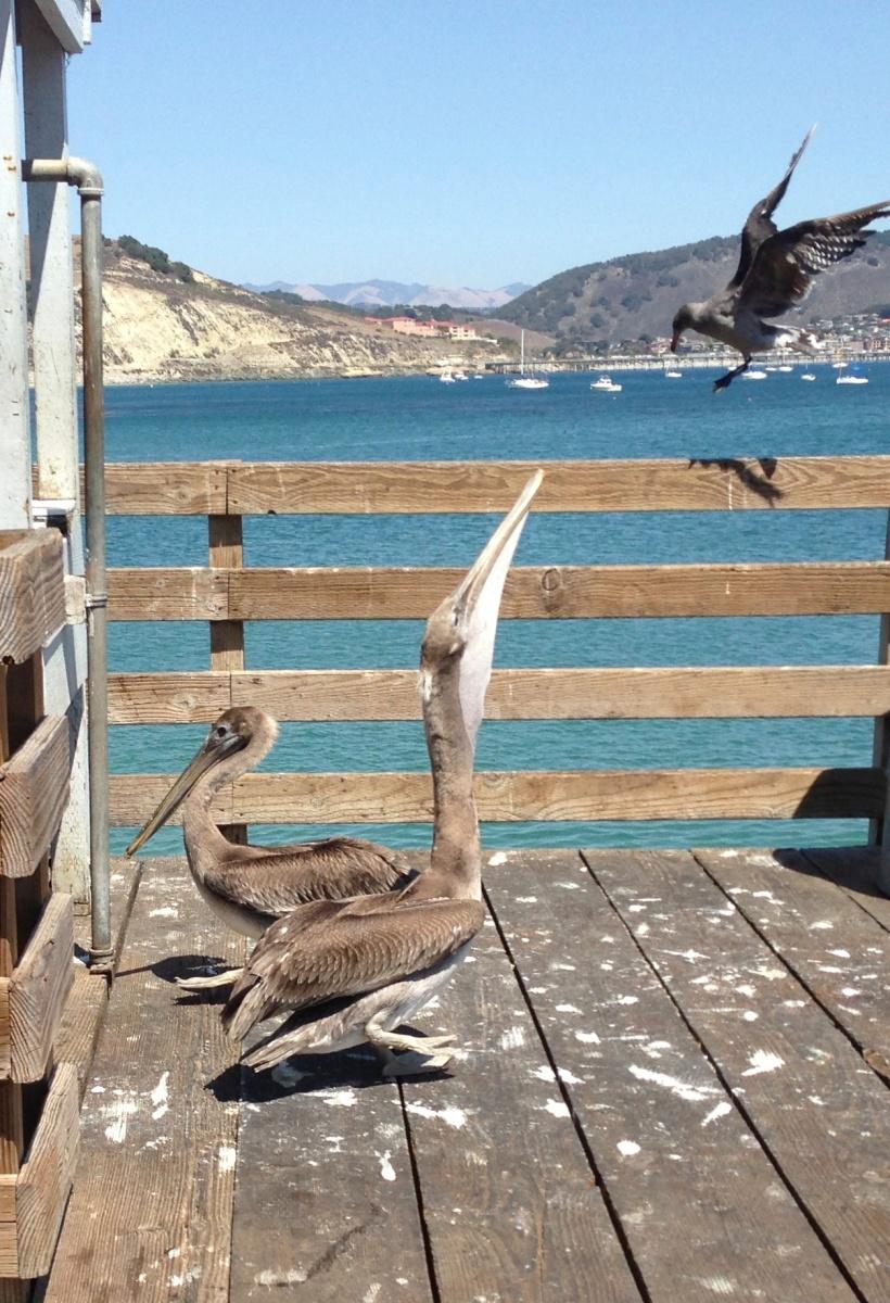 Pelican and sea bird commune