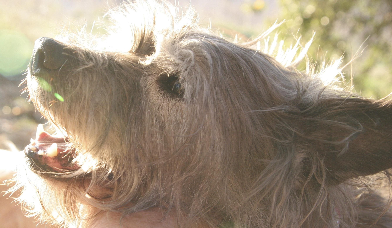 Kerry Blue Terrier New Jersey Kerry Blue Terrier | L...
