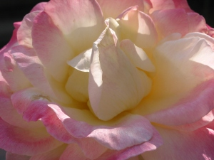 soft soft pink center