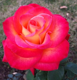 Intense pink fire rose