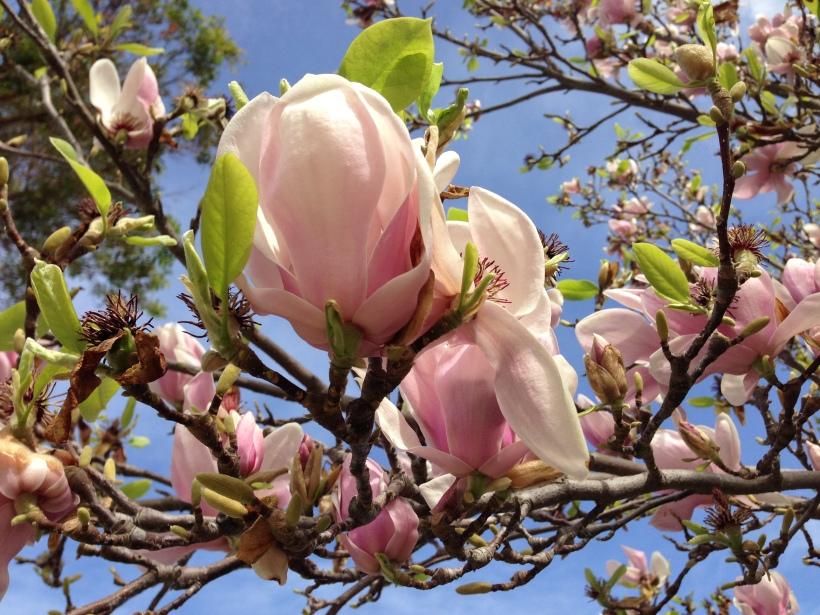 Pink lotus magnolias